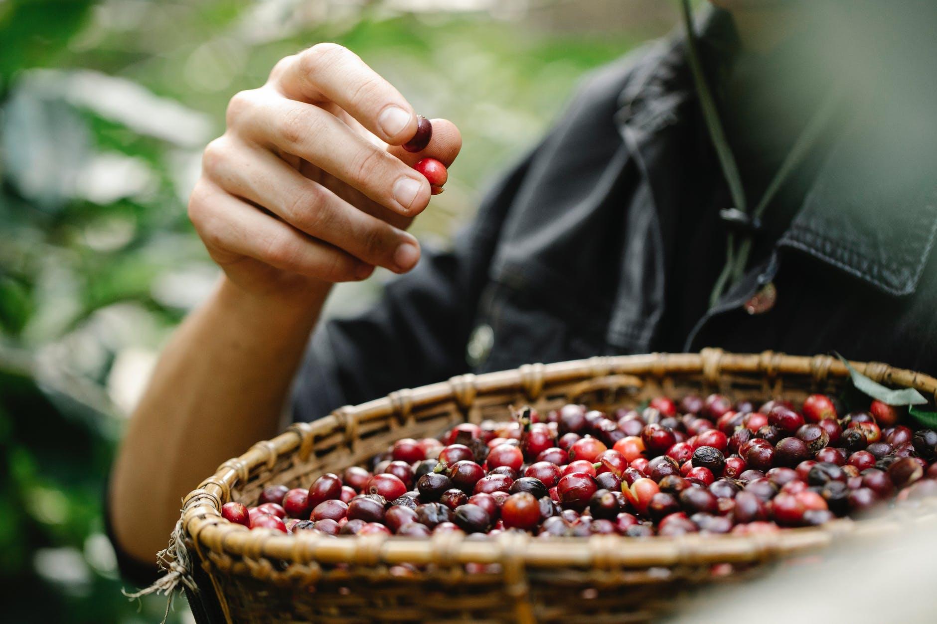crop man eating picked berries in garden